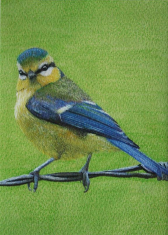Brian the Blue Tit
